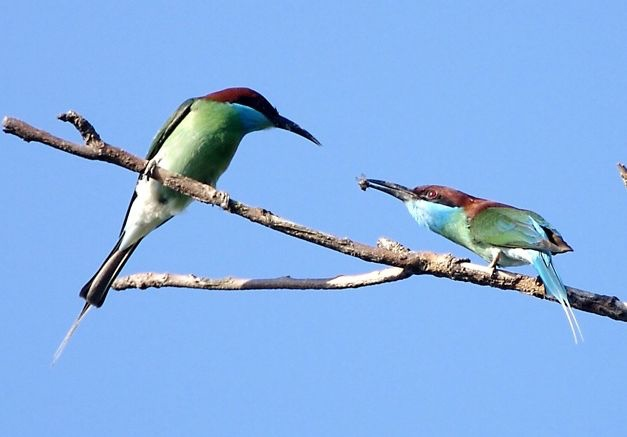 Blue-throated bee-eaters courting